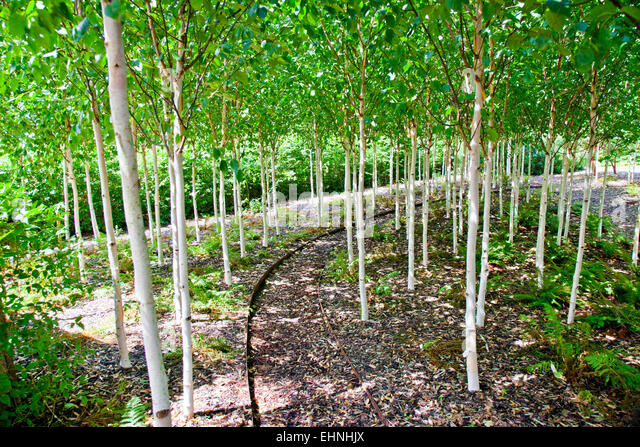 betula utilis var jacquemontii west stockfotos betula. Black Bedroom Furniture Sets. Home Design Ideas