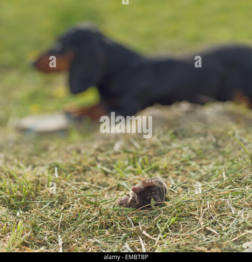 mole animal dead stockfotos mole animal dead bilder alamy. Black Bedroom Furniture Sets. Home Design Ideas
