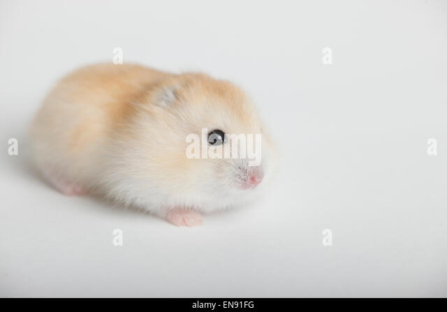 russian dwarf hamster young phodopus stockfotos russian dwarf hamster young phodopus bilder. Black Bedroom Furniture Sets. Home Design Ideas