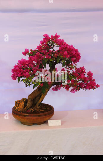 bougainvillea tree stockfotos bougainvillea tree bilder alamy. Black Bedroom Furniture Sets. Home Design Ideas