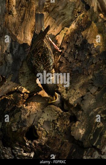 cavity nest stockfotos cavity nest bilder seite 3 alamy. Black Bedroom Furniture Sets. Home Design Ideas