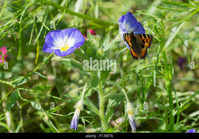 convolvulus tricolor stockfotos convolvulus tricolor bilder alamy. Black Bedroom Furniture Sets. Home Design Ideas