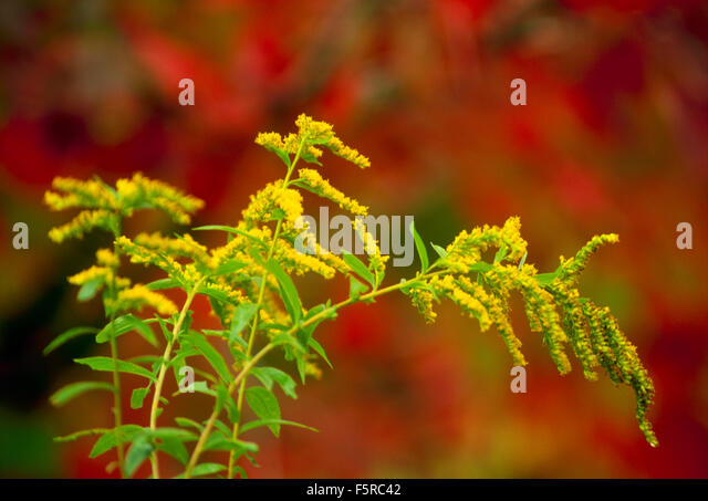 red autumn foliage flowers stockfotos red autumn foliage flowers bilder alamy. Black Bedroom Furniture Sets. Home Design Ideas