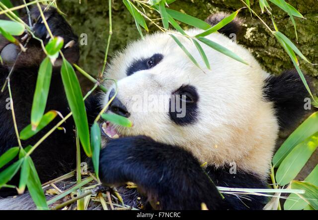 china baby panda stockfotos china baby panda bilder seite 3 alamy. Black Bedroom Furniture Sets. Home Design Ideas