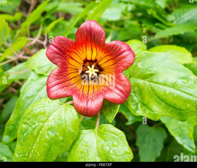 Canarina canariensis stockfotos canarina canariensis for El jardin canario
