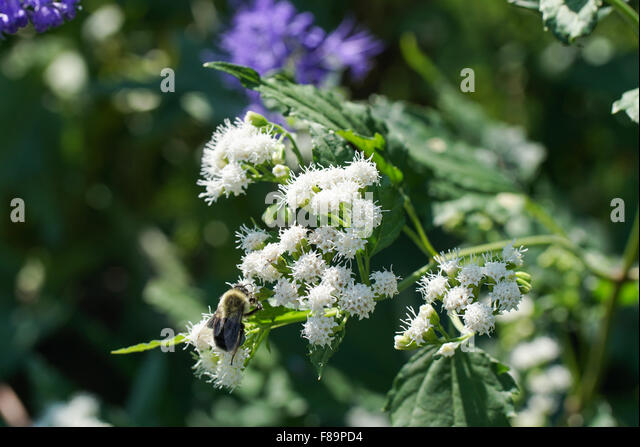 caryopteris blue beard stockfotos caryopteris blue beard bilder alamy. Black Bedroom Furniture Sets. Home Design Ideas