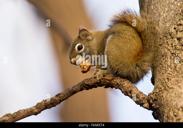 squirrel stockfotos squirrel bilder alamy. Black Bedroom Furniture Sets. Home Design Ideas