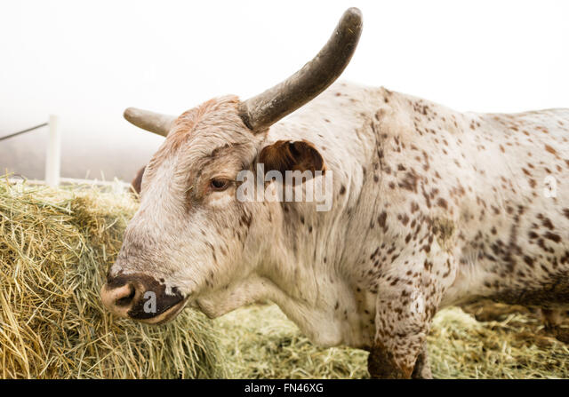 holstein bull stockfotos holstein bull bilder alamy. Black Bedroom Furniture Sets. Home Design Ideas
