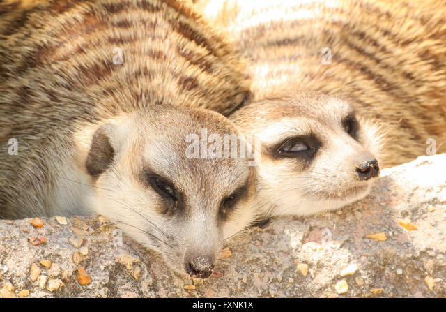 sleeping meerkat stockfotos sleeping meerkat bilder alamy. Black Bedroom Furniture Sets. Home Design Ideas