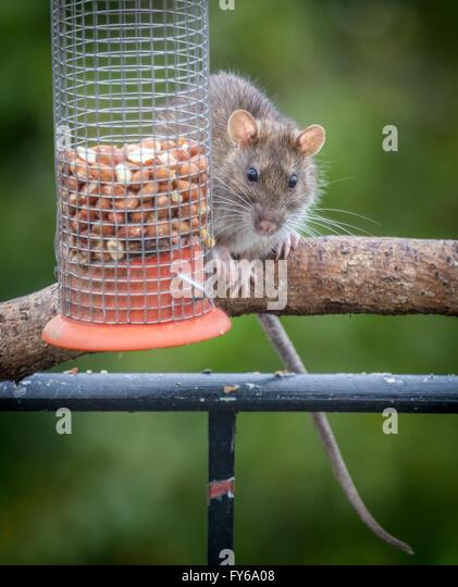bird feeder rat stockfotos bird feeder rat bilder alamy. Black Bedroom Furniture Sets. Home Design Ideas