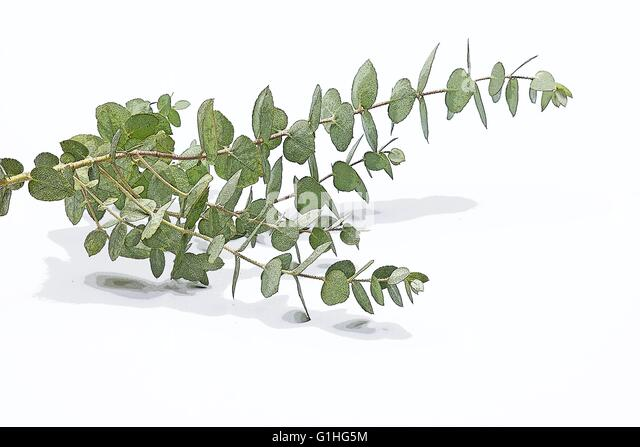 eucalyptus gunnii stockfotos eucalyptus gunnii bilder alamy. Black Bedroom Furniture Sets. Home Design Ideas