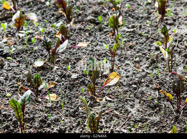 sugar beet growing in field stockfotos sugar beet. Black Bedroom Furniture Sets. Home Design Ideas