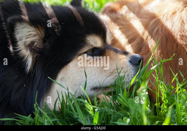 finnish lapphund puppy stockfotos finnish lapphund puppy bilder alamy. Black Bedroom Furniture Sets. Home Design Ideas