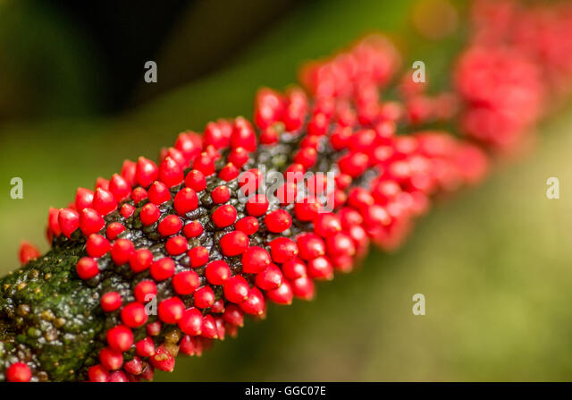 green plant red balls on stockfotos green plant red balls on bilder alamy. Black Bedroom Furniture Sets. Home Design Ideas