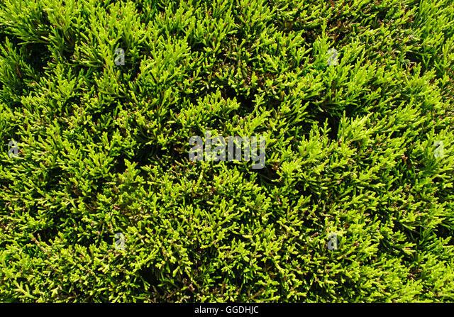 conifer hedges stockfotos conifer hedges bilder alamy. Black Bedroom Furniture Sets. Home Design Ideas