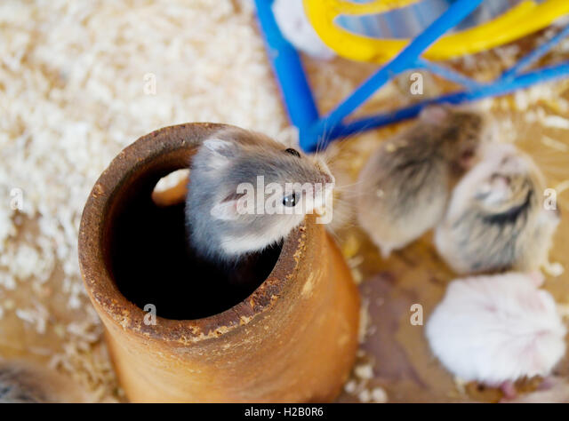 pest control and rats stockfotos pest control and rats bilder alamy. Black Bedroom Furniture Sets. Home Design Ideas