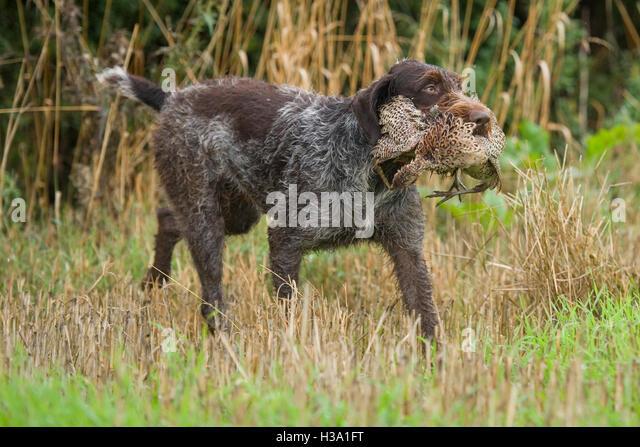 vorstehhund stockfotos vorstehhund bilder alamy. Black Bedroom Furniture Sets. Home Design Ideas