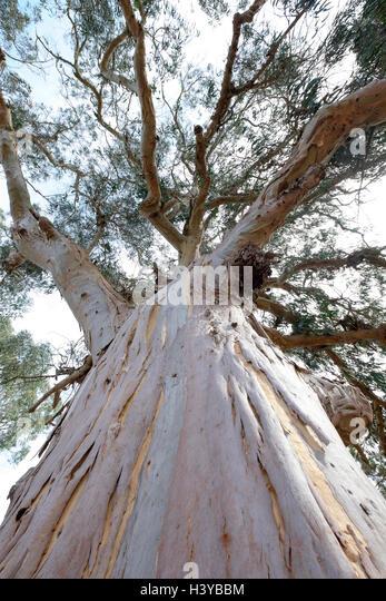 portugal eucalyptus forest stockfotos portugal. Black Bedroom Furniture Sets. Home Design Ideas
