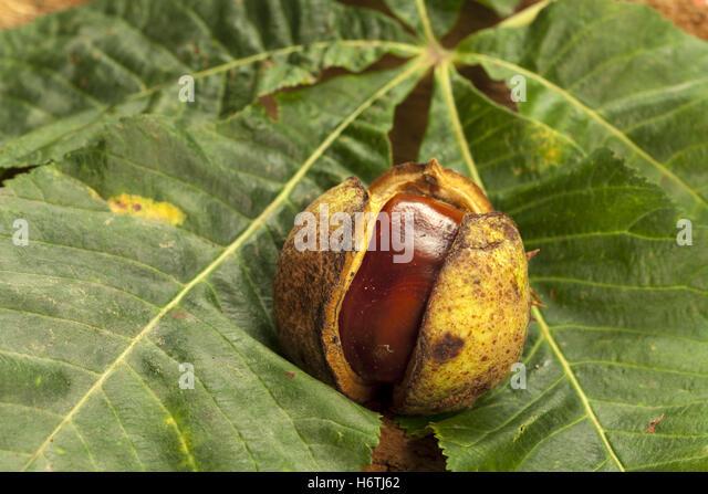 acorn leaves autumn stockfotos acorn leaves autumn bilder alamy. Black Bedroom Furniture Sets. Home Design Ideas