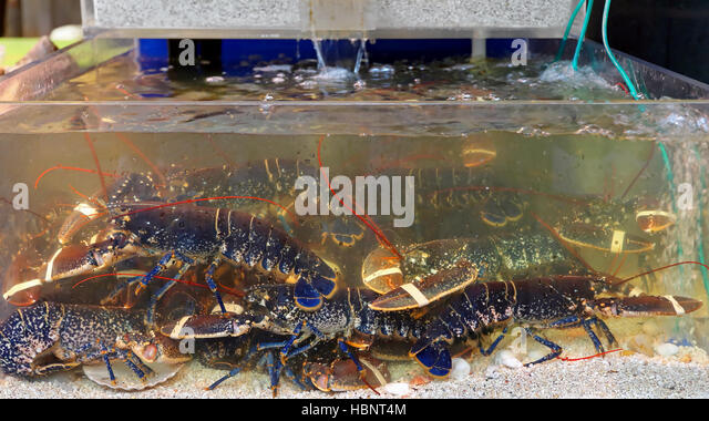 lobsters in tank stockfotos lobsters in tank bilder alamy. Black Bedroom Furniture Sets. Home Design Ideas