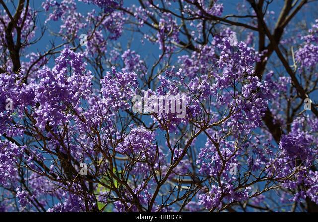 Palisanderholzbaum  Palisanderholzbaum Stockfotos & Palisanderholzbaum Bilder - Alamy
