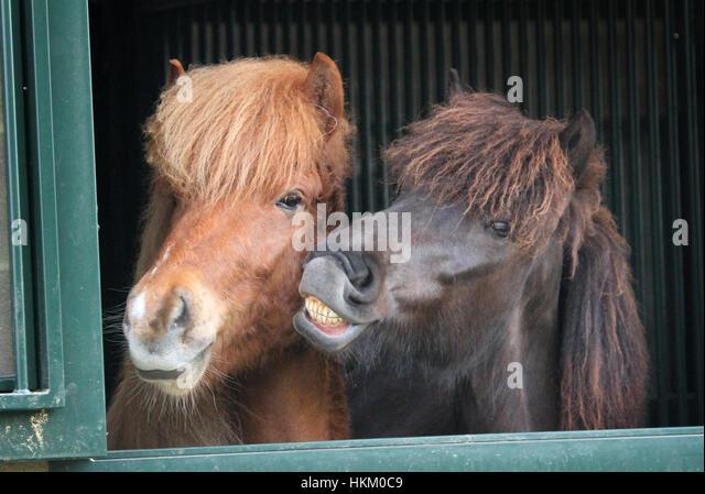 Horse Teeth Icelandic Stockfotos  Horse Teeth Icelandic Bilder