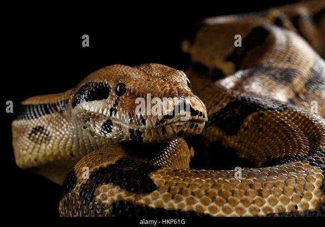 Boa constrictor stockfotos boa constrictor bilder alamy for Aquarium hintergrund ausdrucken