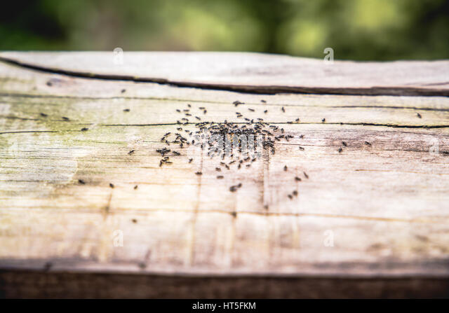 ants stockfotos ants bilder alamy. Black Bedroom Furniture Sets. Home Design Ideas