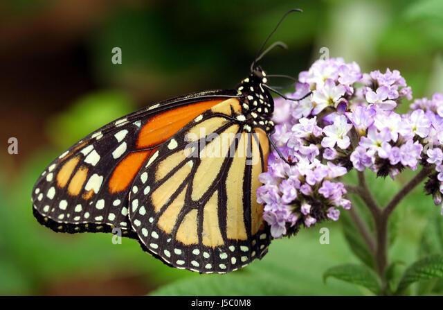 Ungewöhnlich Monarch Schmetterling Anatomie Ideen - Anatomie und ...