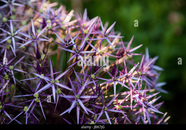 garden purple bedding plants stockfotos garden purple bedding plants bilder alamy. Black Bedroom Furniture Sets. Home Design Ideas