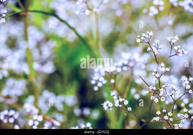 gypsophila gypsophila stockfotos gypsophila gypsophila bilder seite 2 alamy. Black Bedroom Furniture Sets. Home Design Ideas