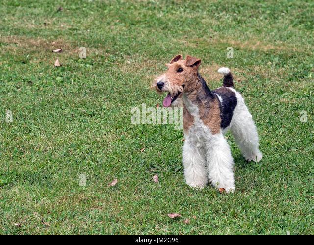 Nett Draht Fuchs Terrier Rettung Midwest Galerie - Elektrische ...