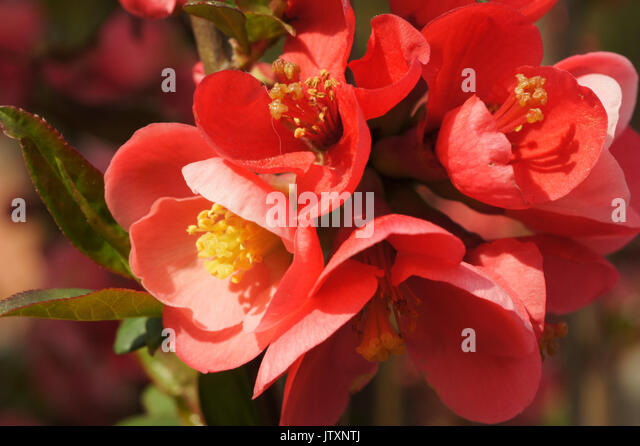 red quince stockfotos red quince bilder alamy. Black Bedroom Furniture Sets. Home Design Ideas