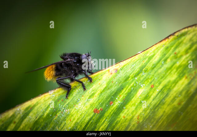 bumble bee illustration stockfotos bumble bee illustration bilder alamy. Black Bedroom Furniture Sets. Home Design Ideas