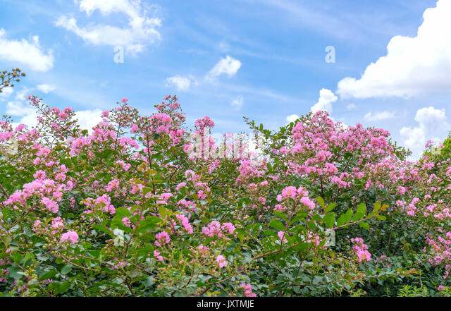 lagerstroemia indica crepe myrtle in stockfotos lagerstroemia indica crepe myrtle in bilder. Black Bedroom Furniture Sets. Home Design Ideas