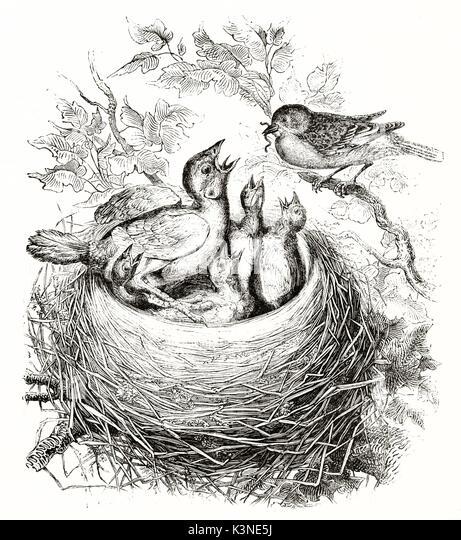 featherless bird stockfotos featherless bird bilder alamy. Black Bedroom Furniture Sets. Home Design Ideas