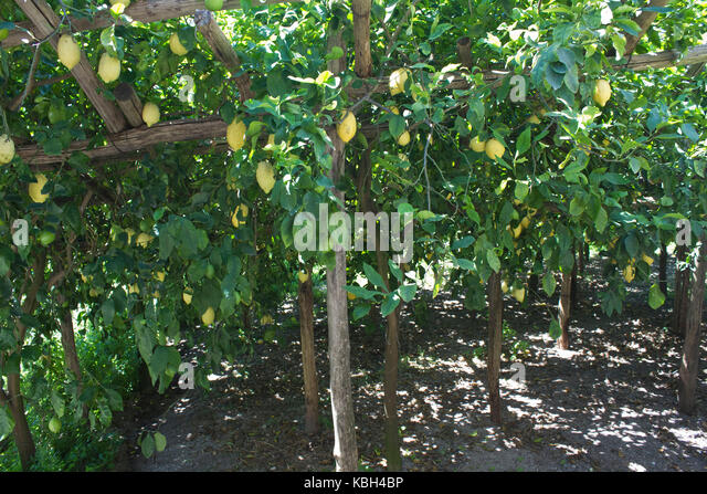 lemon tree amalfi coast italy stockfotos lemon tree. Black Bedroom Furniture Sets. Home Design Ideas