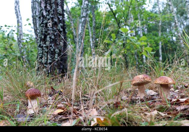 fungus growing in wood stockfotos fungus growing in wood bilder alamy. Black Bedroom Furniture Sets. Home Design Ideas