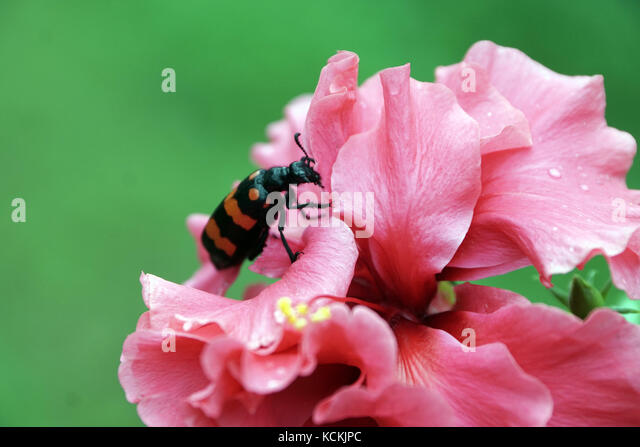 red beetle stockfotos red beetle bilder alamy. Black Bedroom Furniture Sets. Home Design Ideas