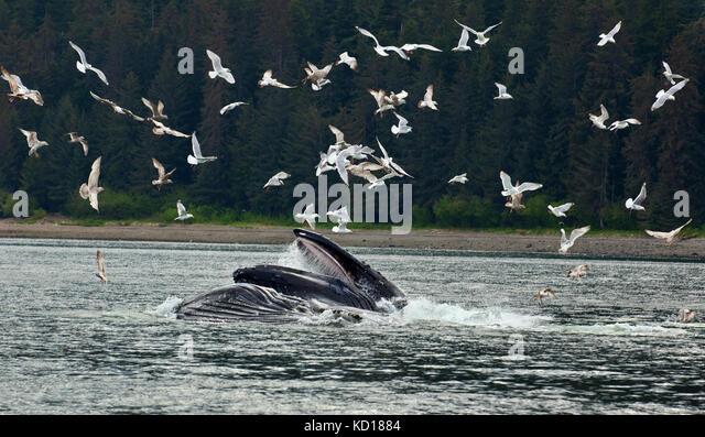 buckelwale surfacing mit mund offen fr hering dass sie corralled frher durch ausatmen - Ausatmen Fans Usa