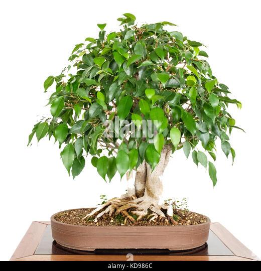 china tree bonsai stockfotos china tree bonsai bilder alamy. Black Bedroom Furniture Sets. Home Design Ideas