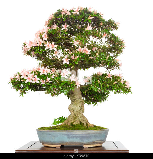 bonsai white stockfotos bonsai white bilder seite 2 alamy. Black Bedroom Furniture Sets. Home Design Ideas