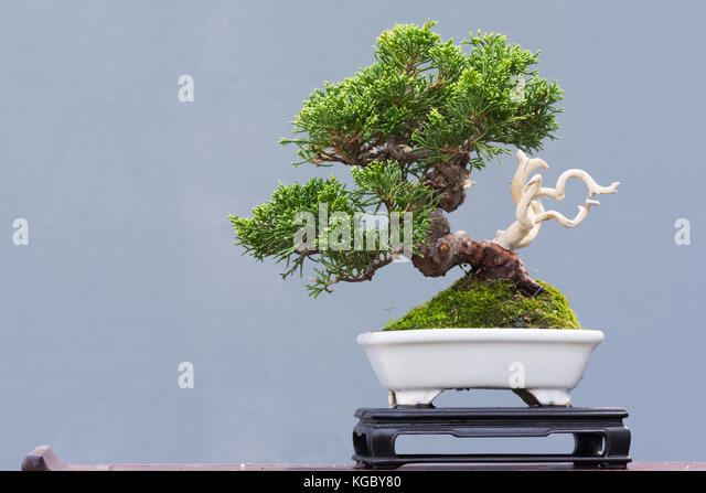 bonsai white stockfotos bonsai white bilder seite 2. Black Bedroom Furniture Sets. Home Design Ideas