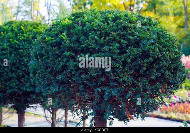 trimmed tree stockfotos trimmed tree bilder alamy. Black Bedroom Furniture Sets. Home Design Ideas