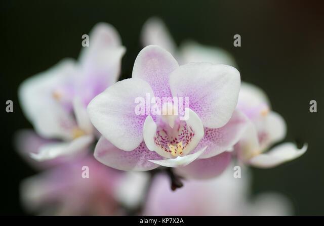 wild orchid phalaenopsis stockfotos wild orchid phalaenopsis bilder alamy. Black Bedroom Furniture Sets. Home Design Ideas