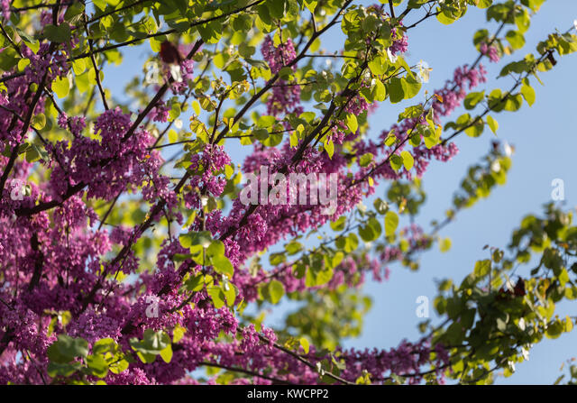cercis siliquastrum judas tree spring stockfotos cercis. Black Bedroom Furniture Sets. Home Design Ideas