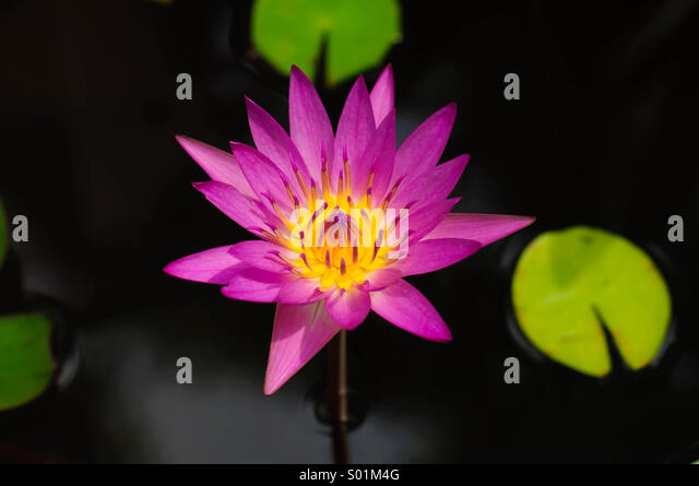 lotus stockfotos lotus bilder alamy. Black Bedroom Furniture Sets. Home Design Ideas