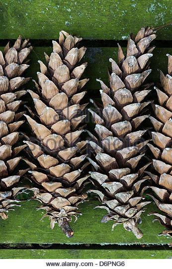 Pinus X Imágenes De Stock & Pinus X Fotos De Stock - Alamy