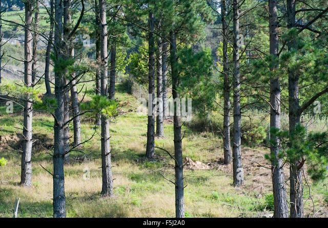 Pinus radiata im genes de stock pinus radiata fotos de - Arboles pais vasco ...